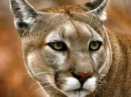 green-cougar