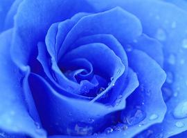 Bluerosefma