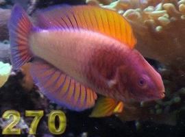 Pike270