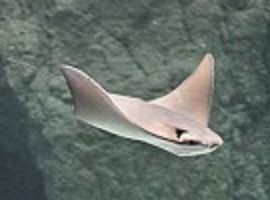 cownose-ray