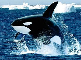 thecoolkillerwhale
