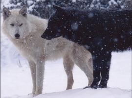 allisonwolf2
