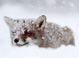 FrozenFox96
