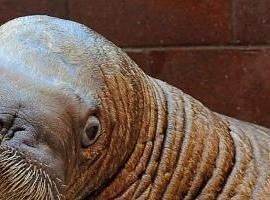 Walruser
