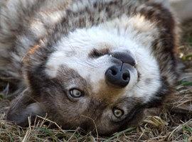 WolfiePasta