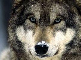 wolfteen
