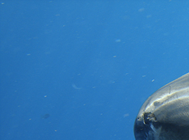 sharkmanx2