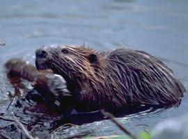 BeaverKingNG